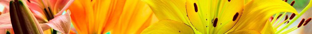 Lys couleurs jardin plante entretien conseils Blog Delbard planter cultiver