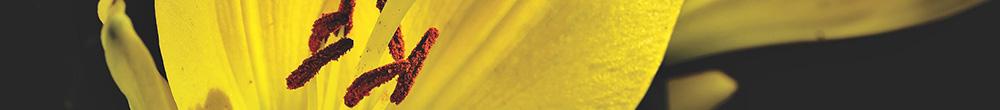 Lys jaune jardin plante entretien conseils Blog Delbard planter cultiver