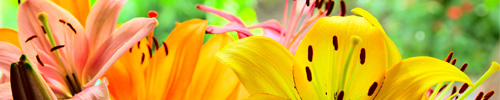Delbard Blog Jardin Fleurs Lys Culture Entretien
