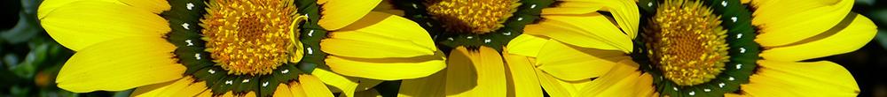 Marguerite du Cap jardin plante plantation été vivace jardin Blog Delbard