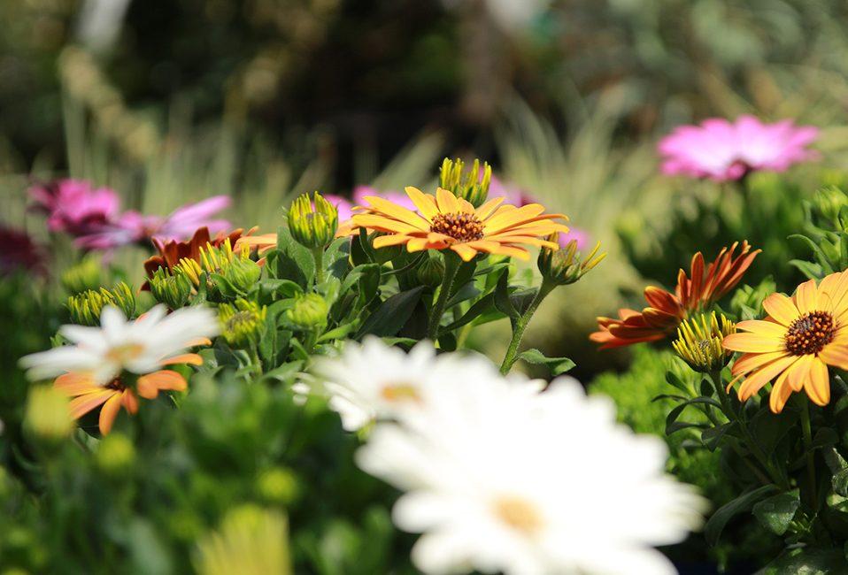 Marguerite du cap jardin plantation plante saison été Blog Delbard jardin
