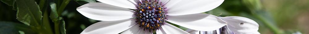 Marguerite du cap plante vivace jardin Blog Delbard été saison