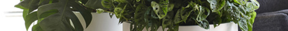 Monstera conseil entretien soins plante verte froid terreau rempotage Blog Delbard