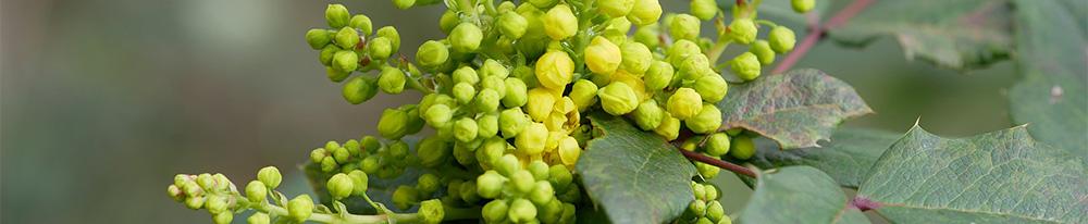 Acajou, Mahonia Aquifolium, Printemps, Vert, Feuille