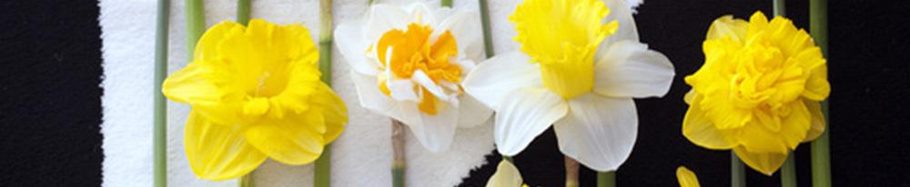 narcisse couleurs entretien arrosage terre terreau feuillage blog delbard