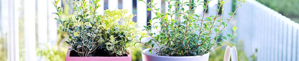 Osmanthus pot entretien astuces conseil plantation fêtes jardin intérieur maison blog delbard