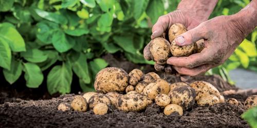 delbard jardin patate potager blog