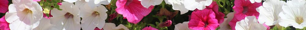 fleurs jardin pétunias