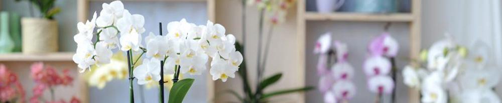 Phalaenopsis-entretien-cadeau-noel-blog-conseils-delbard