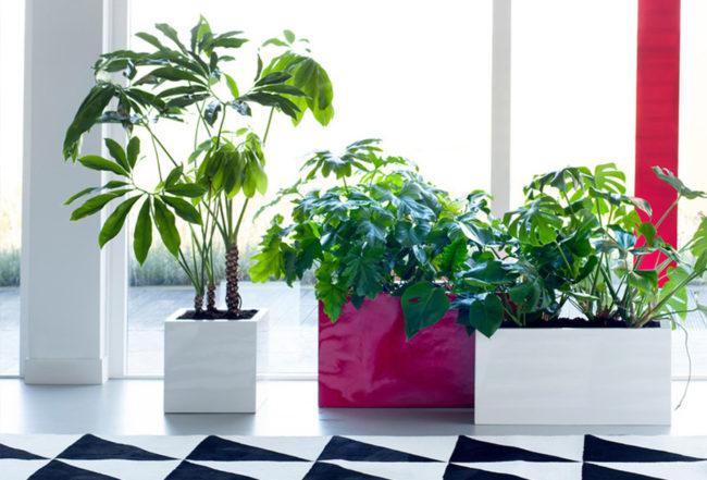 philodendron plante verte entretien intérieur jardin terre plantation arrosage Blog Delbard