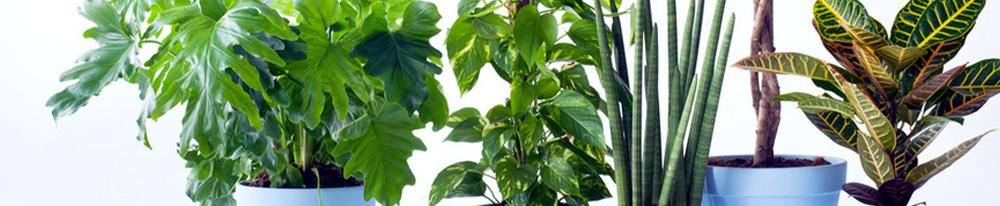 plantation philodendron plante verte intérieur maison soleil exposition terre astuces jardin Blog Delbard