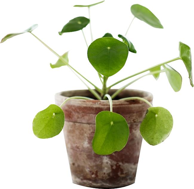 piléa-blog-jardin-delbard-plante-intérieur