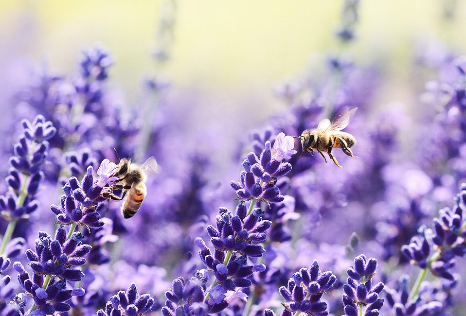Sauver abeilles jardin plantation Blog Delbard
