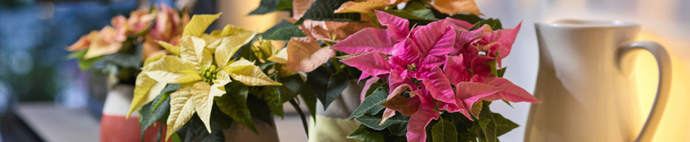 poinsettia couleurs fetes noel entretien arrosage salon design pot blog plante blog delbard