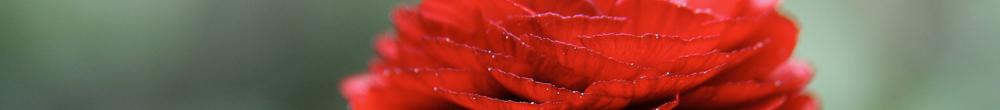 Delbard Blog Renoncule Fleurs