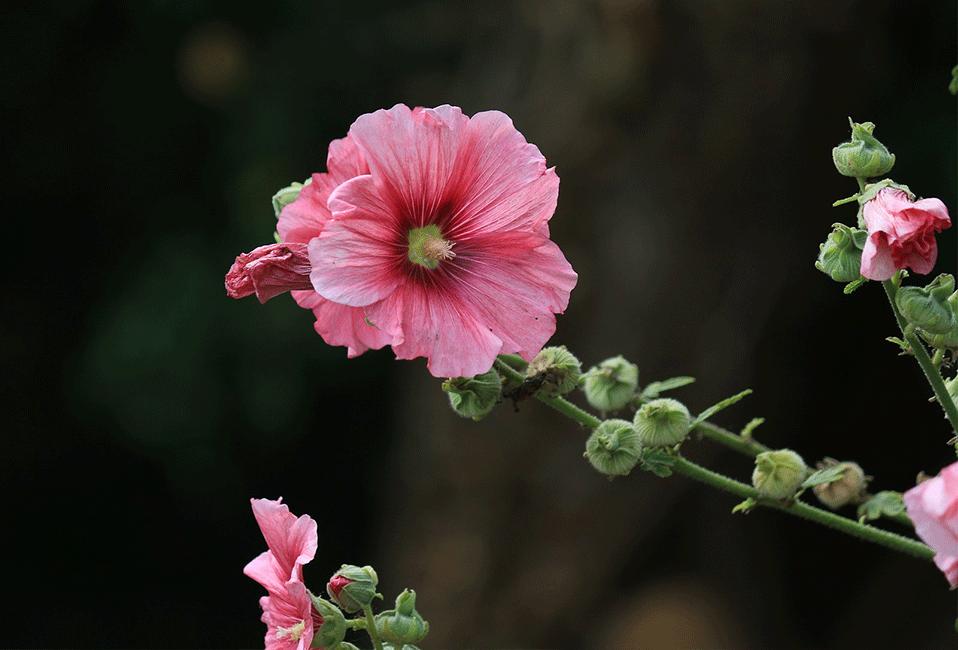Rose trémière couleurs plantation jardin soins entretien astuces arrosage croissance Blog Delbard