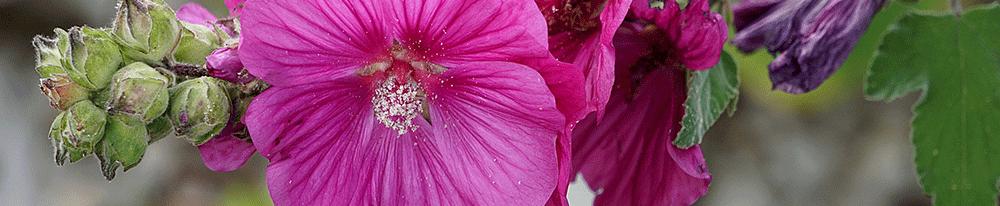 Rose trémière couleurs plantation origines pays nom symbole Blog Delbard