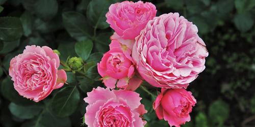 rosiers delbard blog jardin