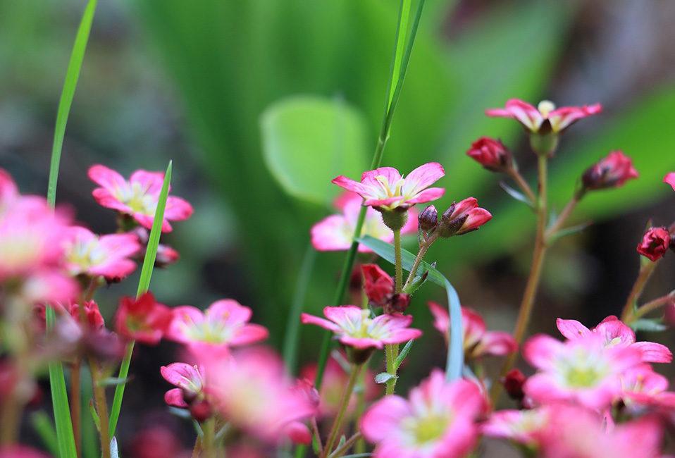 Saxifrage plante plantation entretien jardin rose Blog Delbard