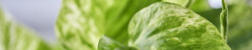 blog delbard plante verte culture entretien soin
