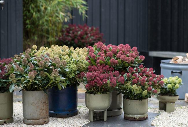skimmia plante arbuste jardin pot terrasse blog delbard