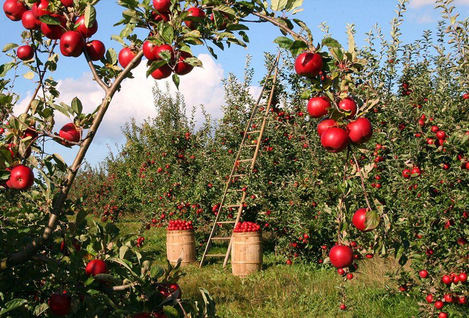 Verger travaux jardin été pommes rouge Blog Delbard