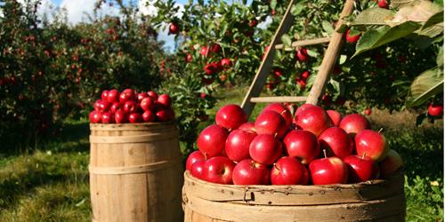 jardin blog delbard verger pommes
