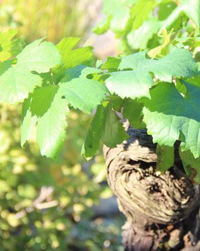 delbard vigne jardin blog