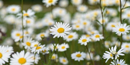jardin blog delbard fleurs vivaces