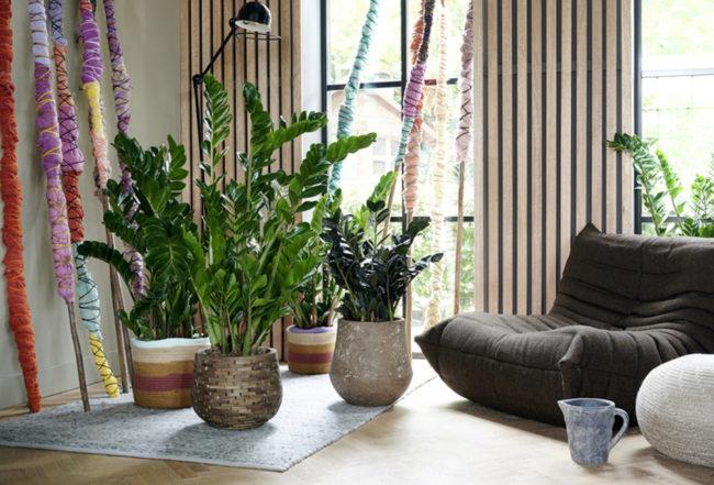 Zamioculcas plante interieur entretien arrosage plante blog delbard