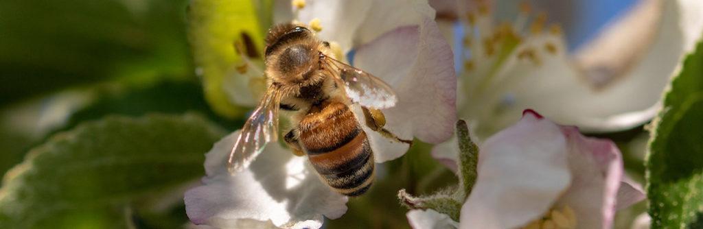 abeilles pommier jardin blog delbard
