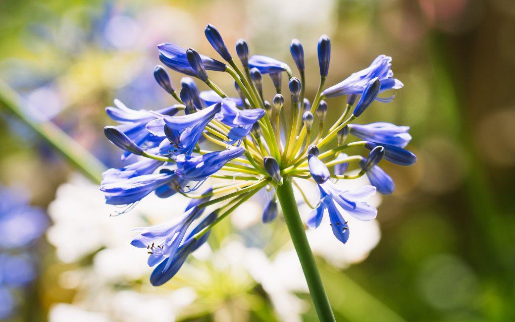 agapanthe blog delbard jardin plante mai