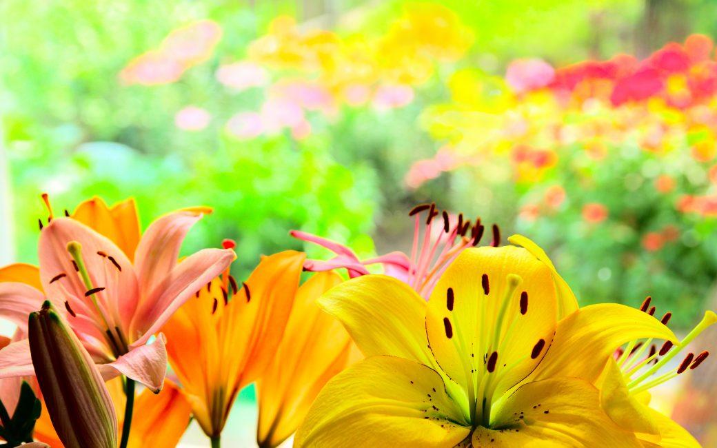 lys blog delbard jardin fleurs plante été