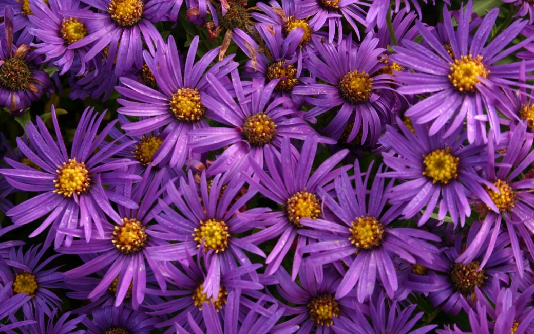 asters-marguerites