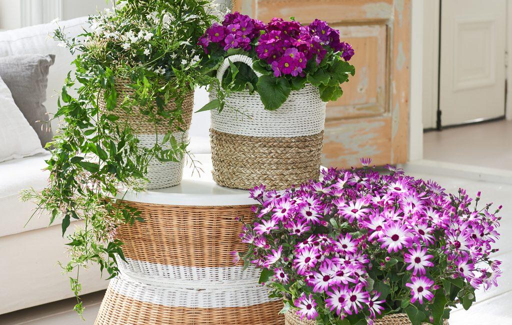 plante février beautés glacées delbard