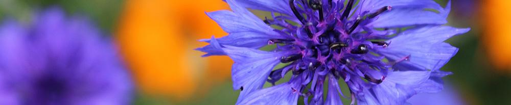 Bleuet origine symbole France Canada nom Blog Delbard