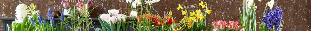 bulbes-fleurs-prêts-à-fleurir-delbard-jardinerie