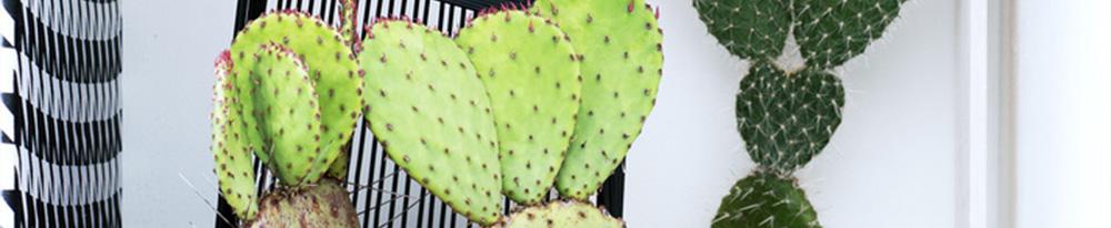 Cactus plantes entretien histoire feuilles feuillage pot design Blog Delbard