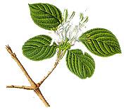 chevrefeuille-plante-blog-delbard-jardin-conseil-astuce-entretien