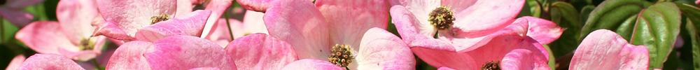 cornouiller-blog-delbard-jardin-plante-hiver