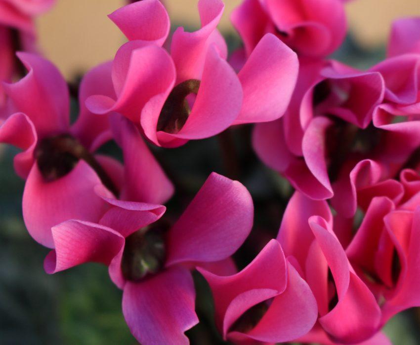 le cyclamen la plante d 39 automne par excellence le blog delbard. Black Bedroom Furniture Sets. Home Design Ideas