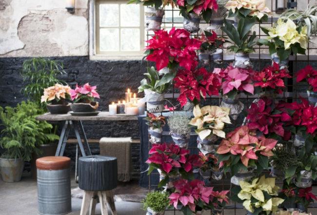 fleurs-poinsettia-cadeau-noel-entretien-astuces-interieur-blog-delbard
