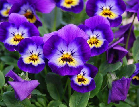 Plantez des Violas Cornuta !