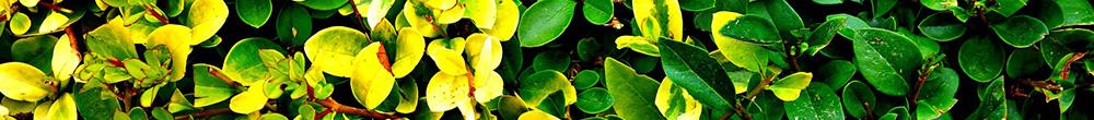 Haies entretien Blog Delbard astuces jardin mois juin été