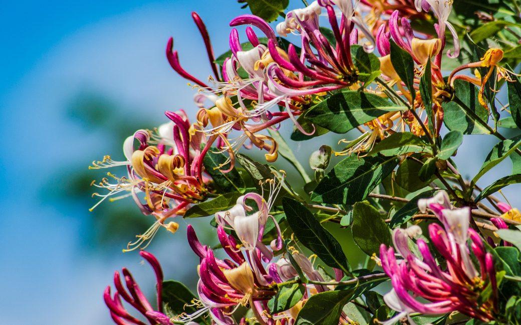 chèvrefeuille plante arbuste delbard blog plantation entretien