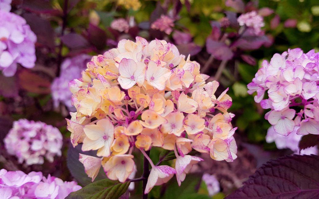hortensia blog delbard jardin jardinage plante