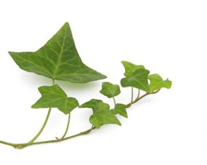 ivy-leaves-1401233