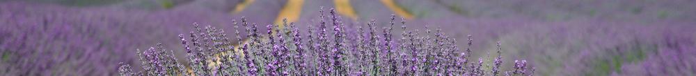 delbard blog jardin fleurs lavande printemps