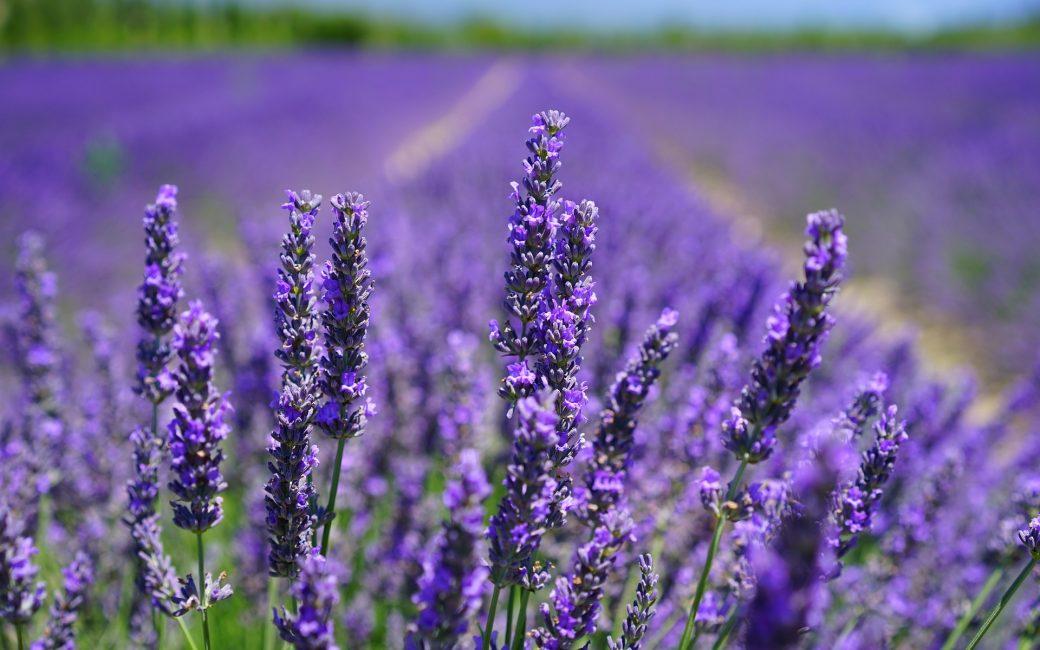 Lavande Fleurs Blog Delbard Jardin Jardinage