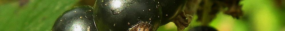 Cassis fruits cassissier jardin entretien couper Blog Delbard